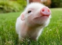 你被猪肉影响了么?